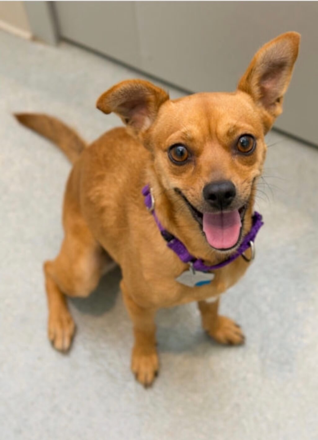 French State of Mind Coco Bacon at Animal Haven NYC Rescue Shelter